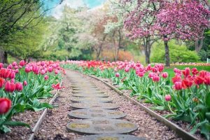 Garden path with pink tulips and blossoming trees beside it